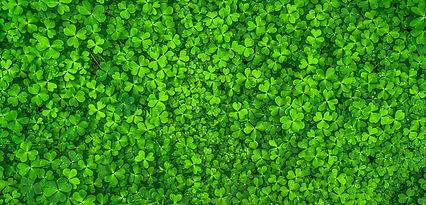 Ireland, top view of shamrocks