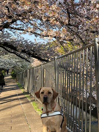 Nixon and cherry blossoms photo