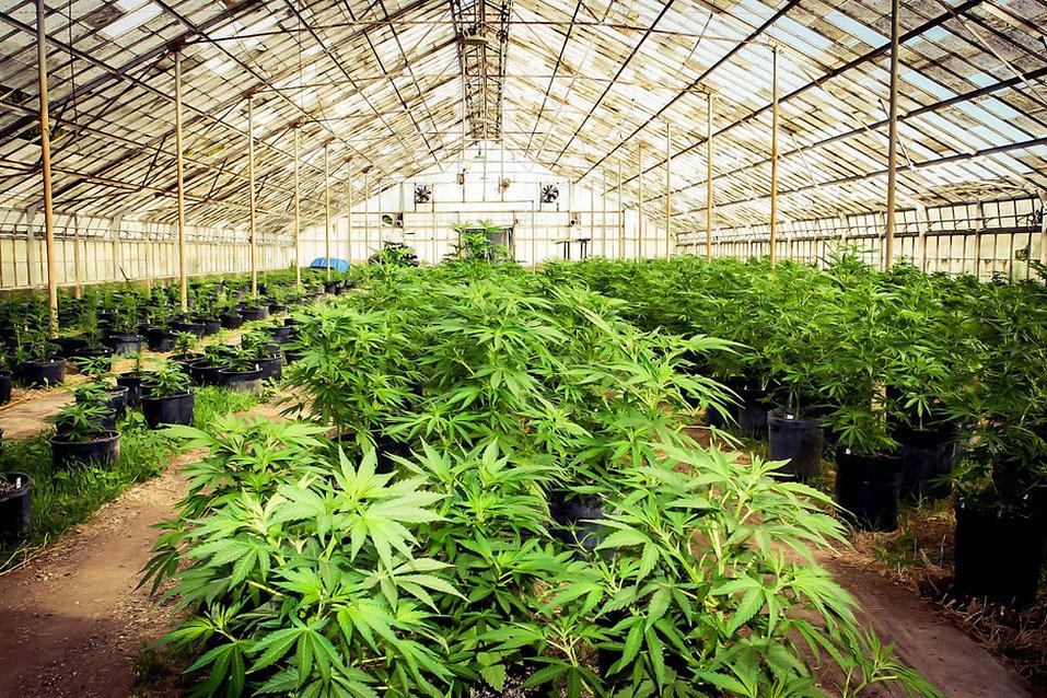 Marijuana_Farm.jpg