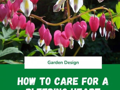 How to Care for a Bleeding Heart Plant
