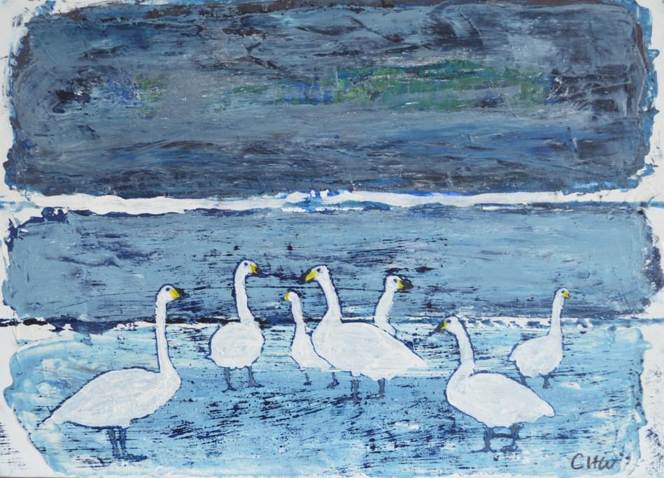 Whooper Swans Roskilde Fjord 1963 Denmark