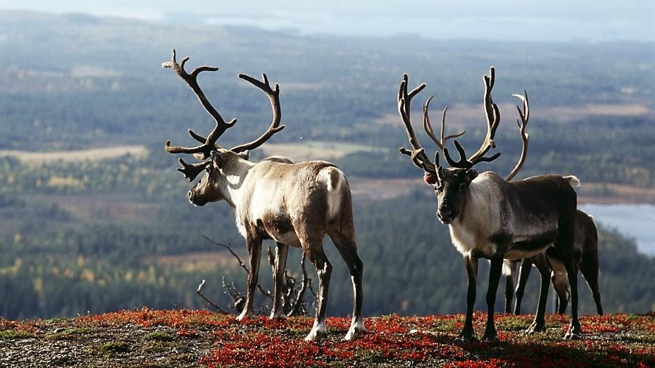 Reindeers_Inari_3562-930x523