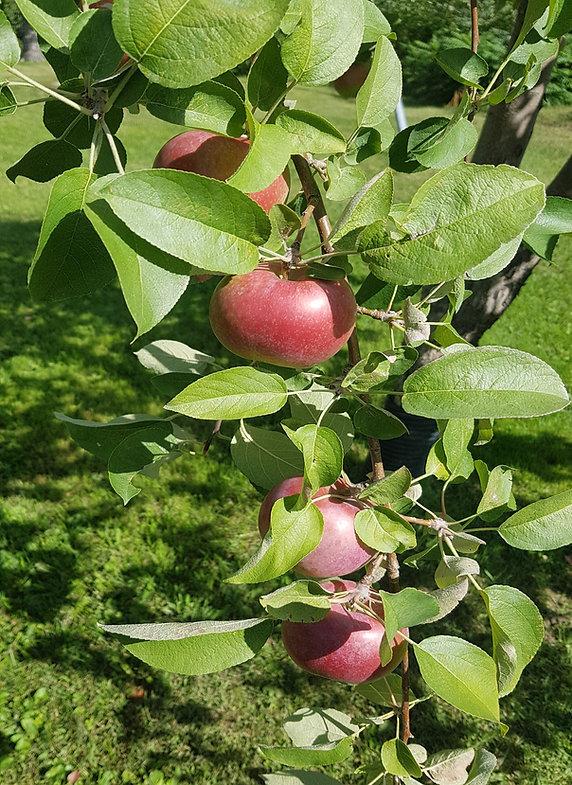 mac tree.jpg