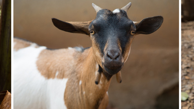We Have Goats!!
