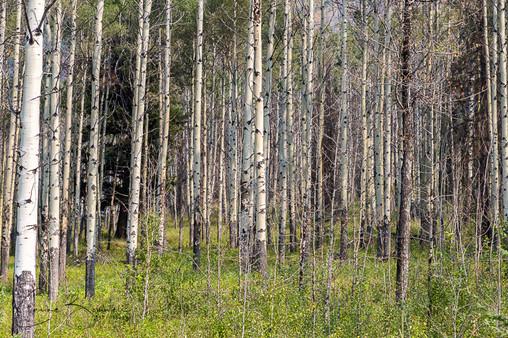 Birch Tree at Banff NP