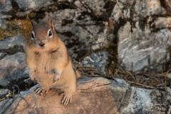 Squirrel at Banff NP