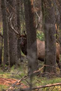Hide-and-seek with Elk at Norquai Lookout