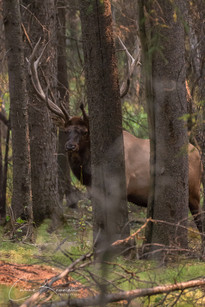 Hide-and-seek with Elk at Norquai Lookout