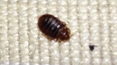 Bed Bugs  in Atlanta, Georgia.  Detect with Sensor Bed Bug Dogs !  Thermal Heat Treatments !