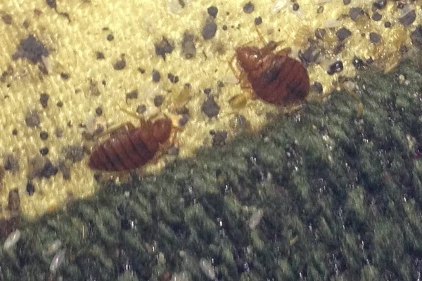 Bed bugs and excrement Clark pest remedy