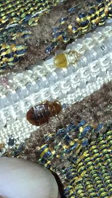 bed bugs,sofa cushion,atlanta,georgia