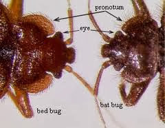 Bat Bugs and Bed Bugs in Georgia !