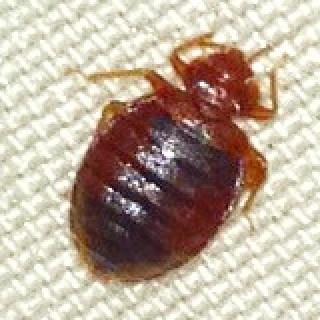 bed bugs atlanta, bed bugs savannah, bed bugs hilton head, bed bugs macon