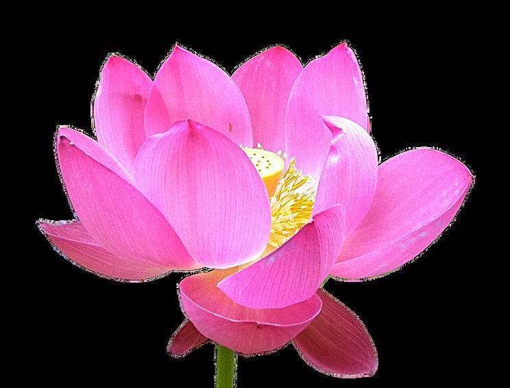 pink blooming lotus