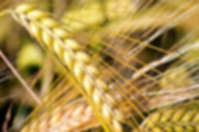 campo-de-trigo-campos-de-cultivo-concent