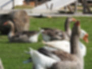 Geese in the grass. Domestic bird. Flock