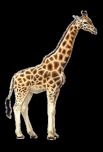 giraffe-11523219074adoaiojycv.png