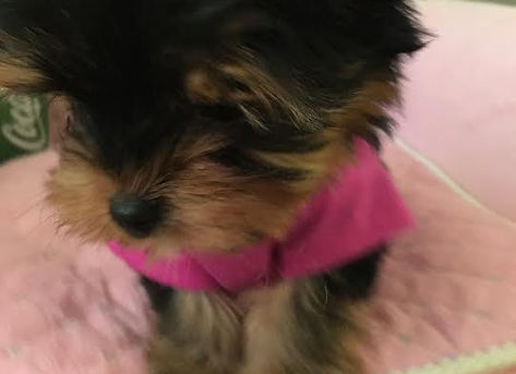 Teacup Yorkie For Sale Ontario - Teacup Yorkie For Sale Ontario