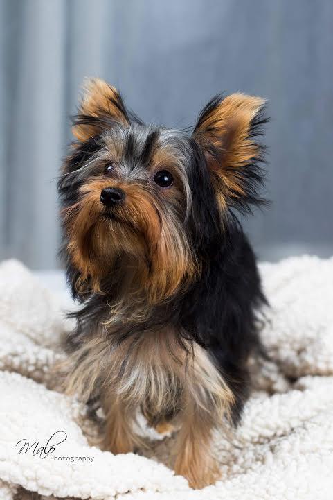 Buy Teacup Yorkies Edmonton - Buy Teacup Yorkies Edmonton