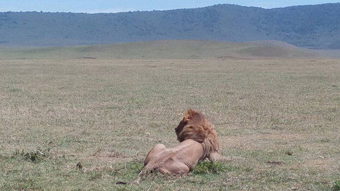 A lion in Ngorongoro Conservation Area
