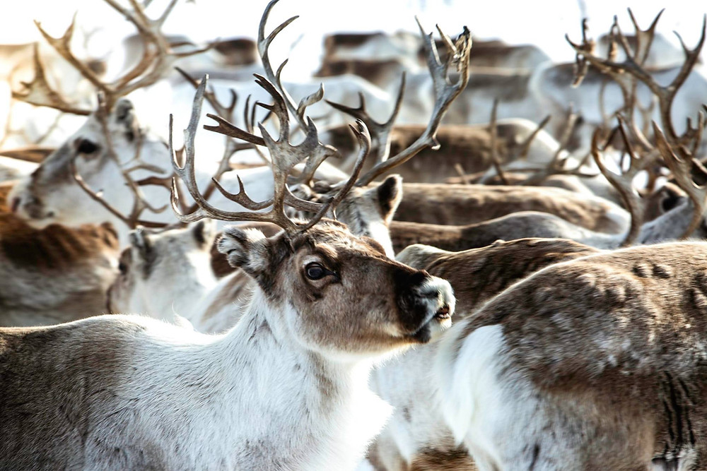 Sami, reindeer migration, Sami reindeer migration, reindeer norway, Sami Norway, visit Norway, book a stay with Sami, Reindeer expedition