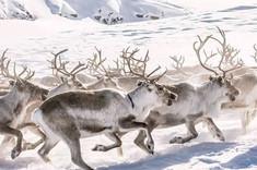 Sami reindeer spring migration