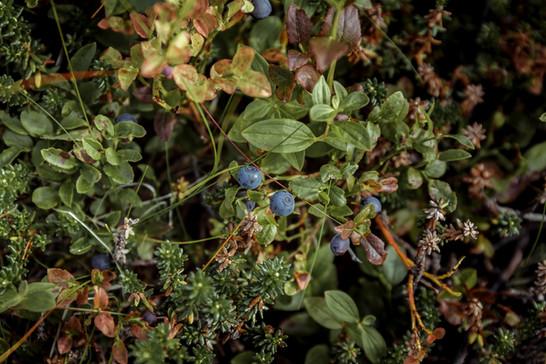 Arctic blueberries