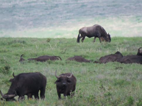 Wildbeest in Ngorongoro Conservation Area, Tanzania / Visit Natives / Walking safari with Maasai in Tanzania