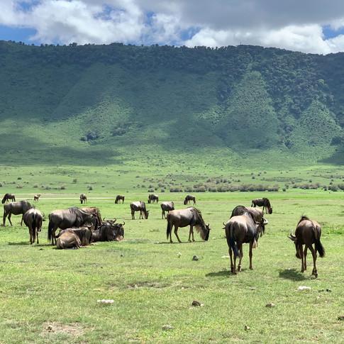 Wildbeest in the Ngorongoro Crater, Tanzania