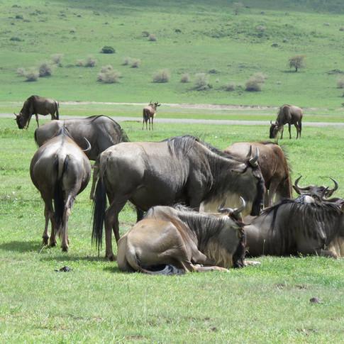 Wildebeest on walking safari in Ngorongoro Conservation Area, Tanzania / Visit Natives