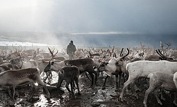 Sami reindeer herding migration