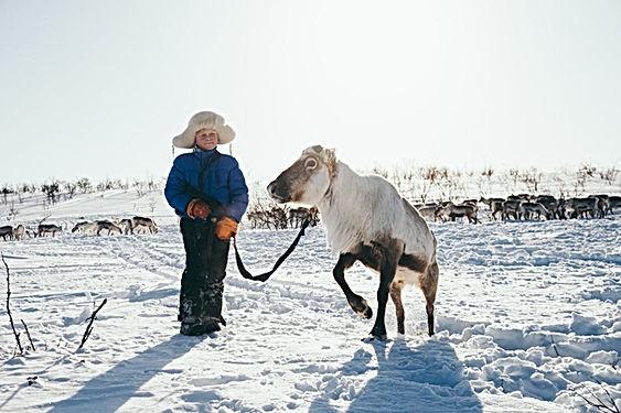 Sami reindeer herder herdign reindeer