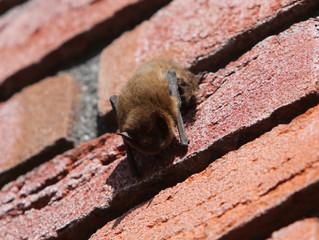 Vleermuis overdag op school....
