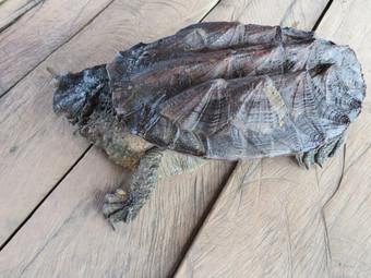 Peru, amazoński zółw