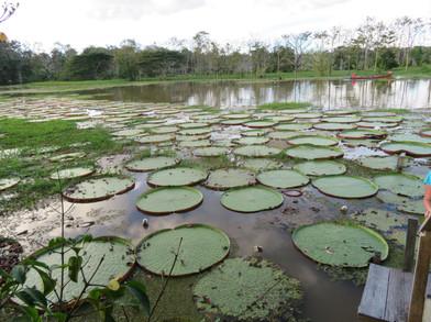 Wiktoria amazońska