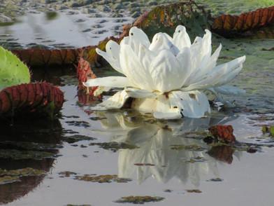 Kwiat wiktorii amazońskiej