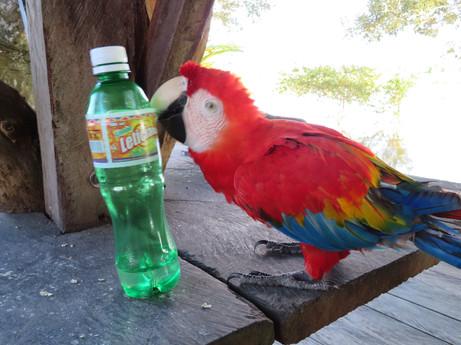 Amazońska papuga