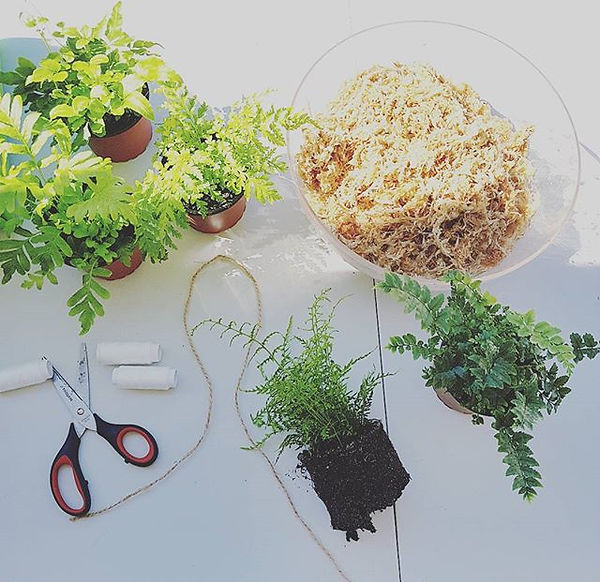 Making my newest additions to the terrariums by kristina team, _the hybrid_ part kokedama,