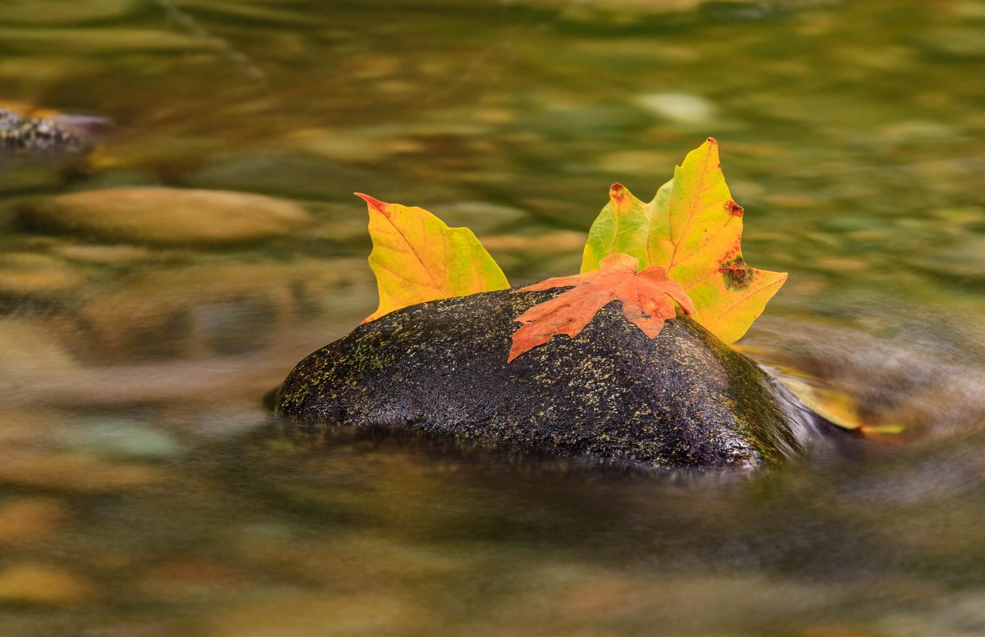 Maple Leaves in Goldstream River