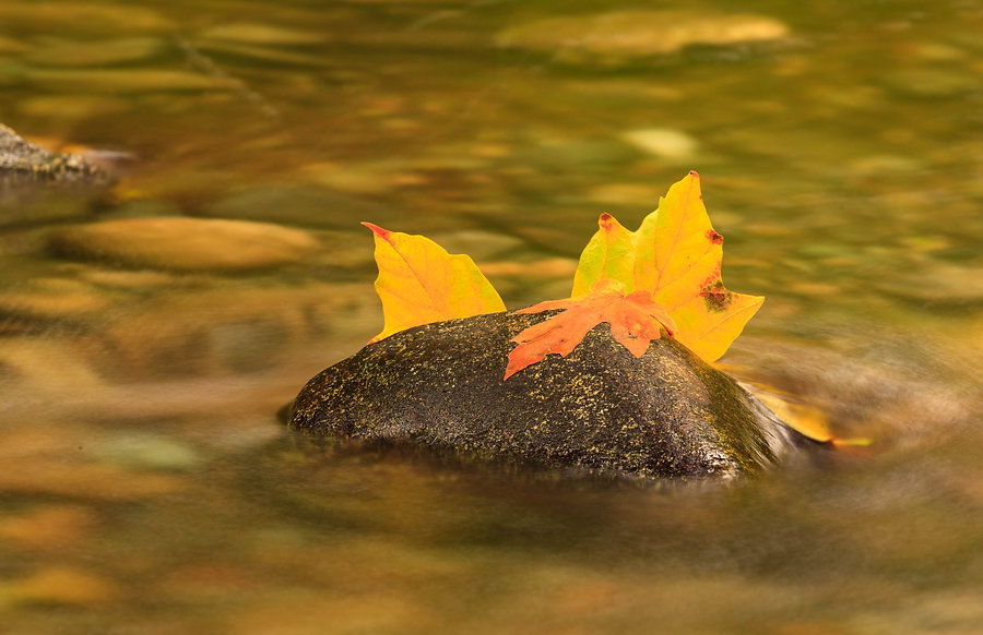 Maple leaf and rocks in Goldstream River
