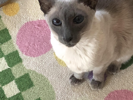 Would You Like To Help A Siamese Cat?