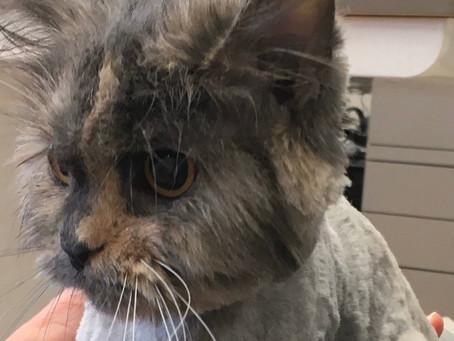 Does NOVA Cat Clinic Groom Cats?