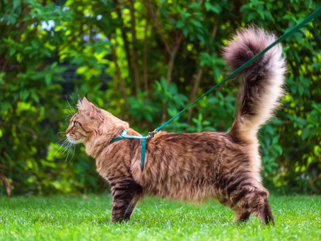 Can I Walk My Cat On A Leash?
