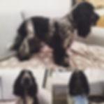 chiens chats paris 75017  toilettage