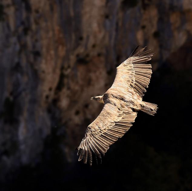 vautour fauve. Gorges du verdon