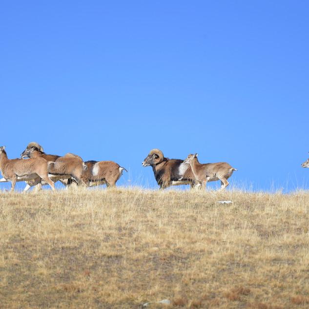troupeau de mouflons