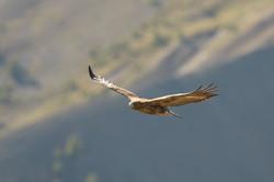 jeune aigle wix