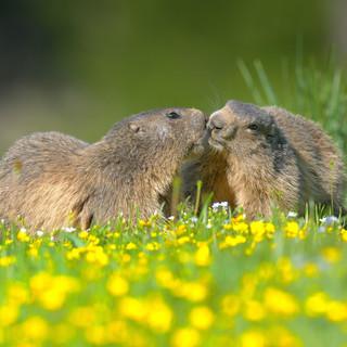 Marmottes au printemps Mercantour