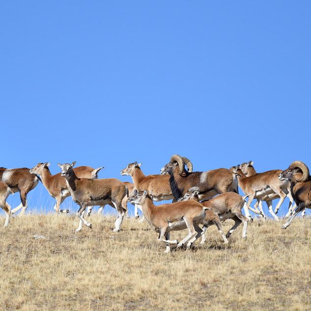 mouflons vers 2200 m. Mercantour