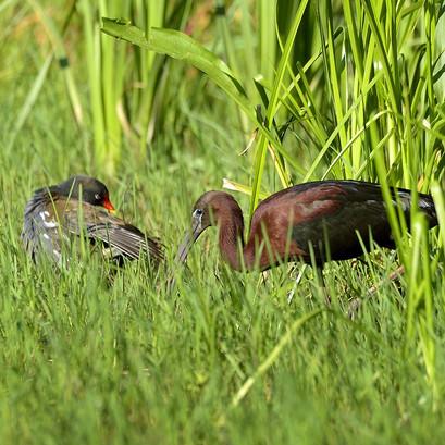 Ibis flacinelle et poule d'eau